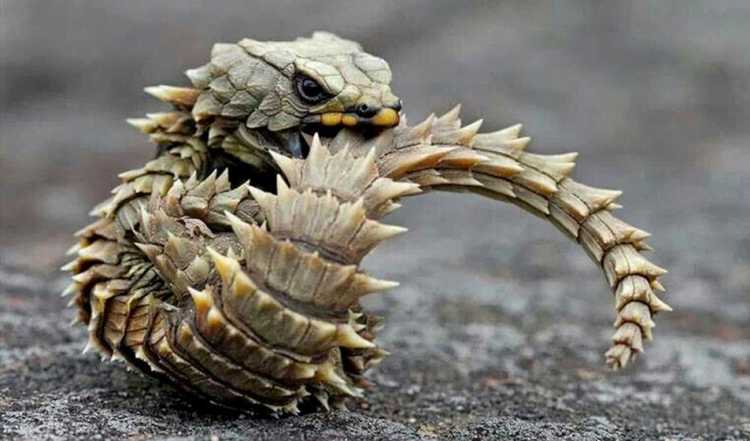 Armadillo-Girdled-Lizard