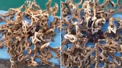 Singapur lu Balıkçı Tarafından Yakalanan İlginç Yaratık.